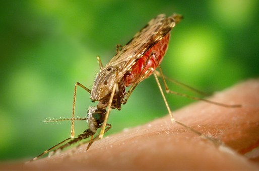 Viser malaria mygg som suger blod fra menneske